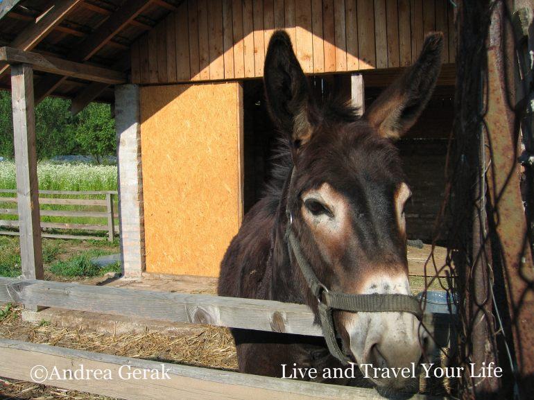 Bandi the donkey